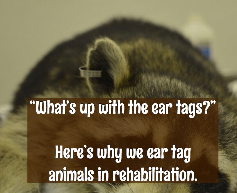 An ear tag on a raccoon.