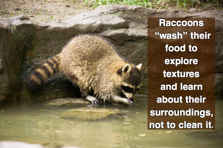Why raccoons wash their food.