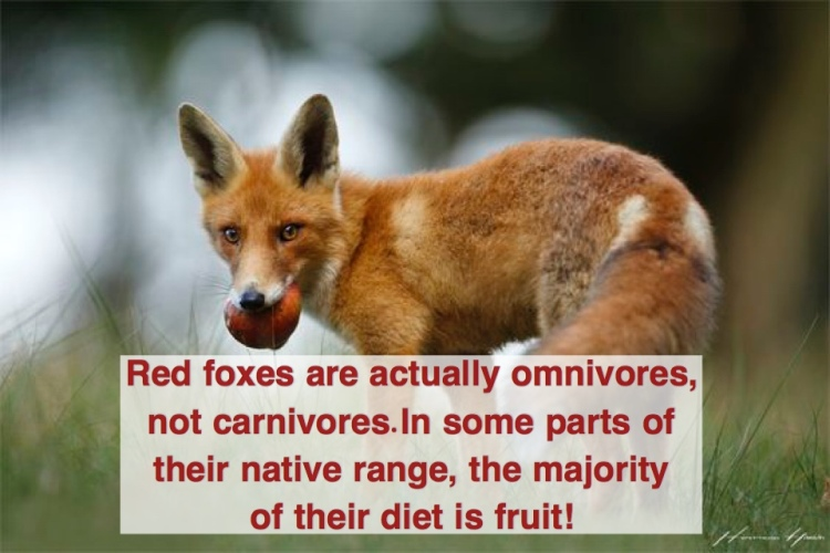 A red fox eating fruit.
