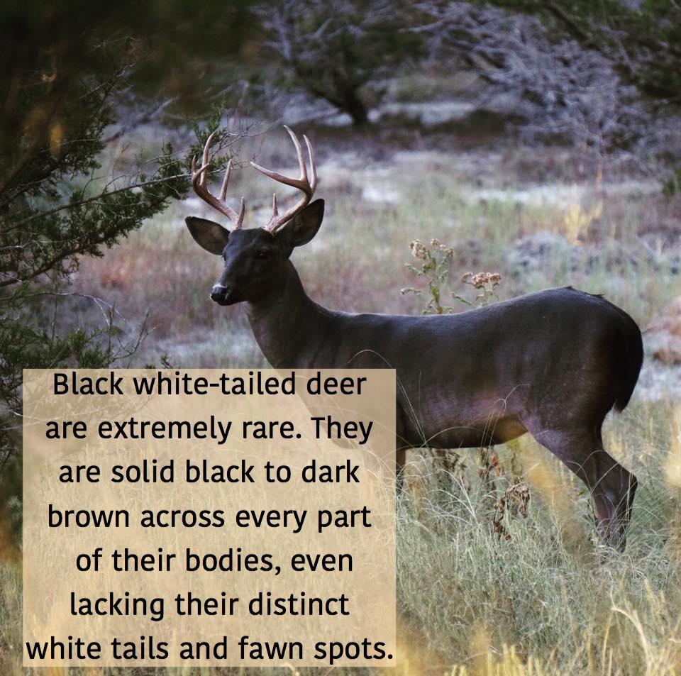 A beautiful black buck.