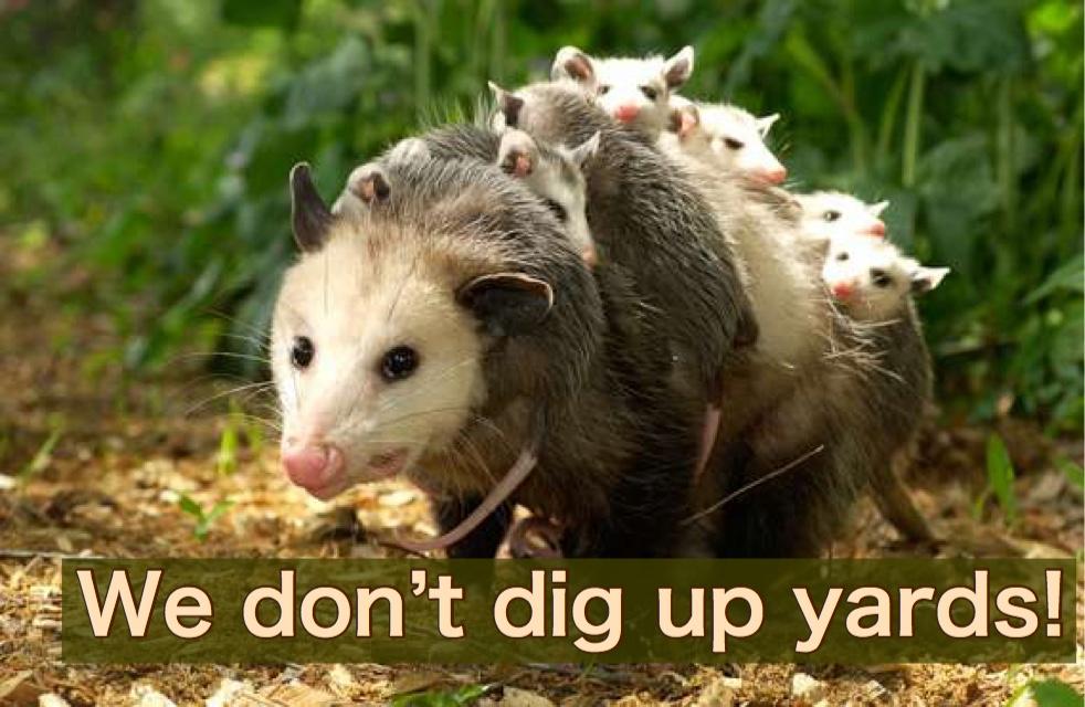 Opossums don't damage lawns.