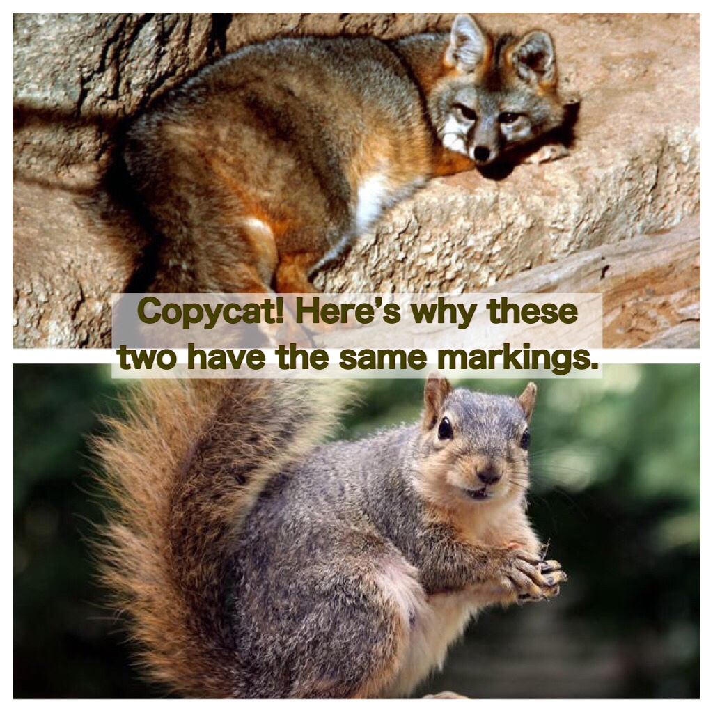 The markings of grey foxes and fox squirrels are noticeably similar.