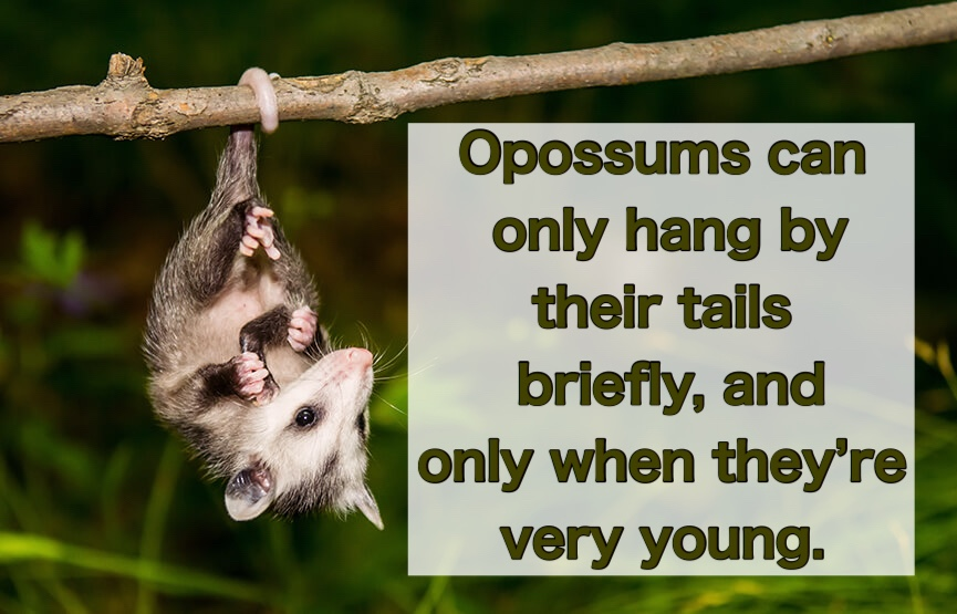 Opossums only briefly hang by their tails, as babies.