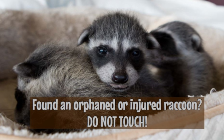 Found an orphaned baby raccoon? Don't touch!