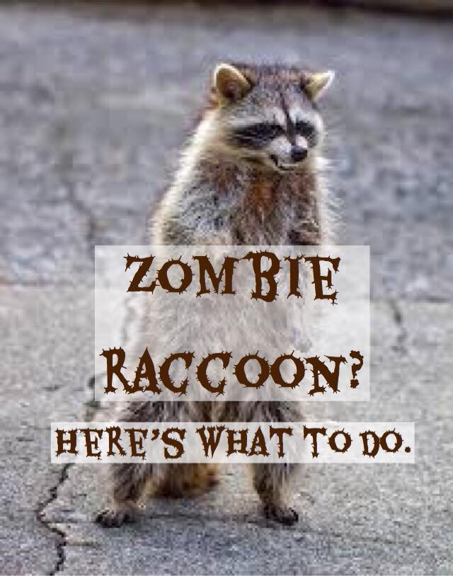 How to handle a zombie raccoon.