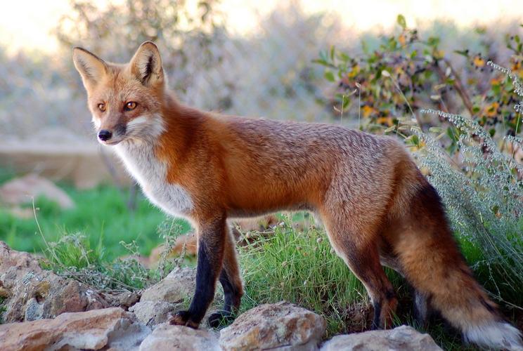 A red fox, Vulpes vulpes.