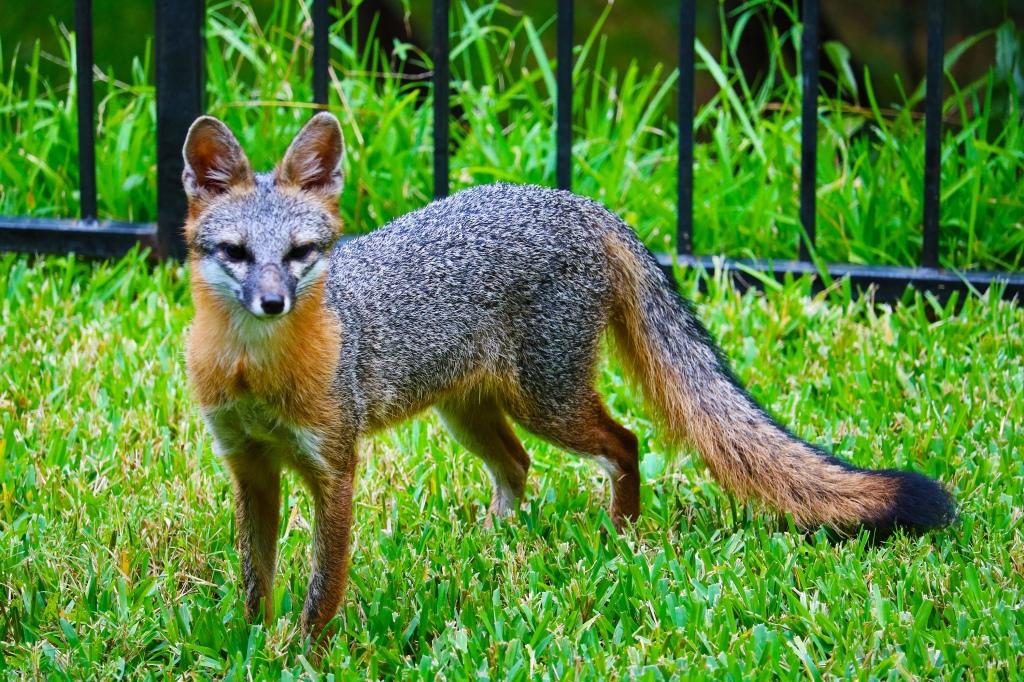 A grey fox, Urocyon cinsreoargenteus.