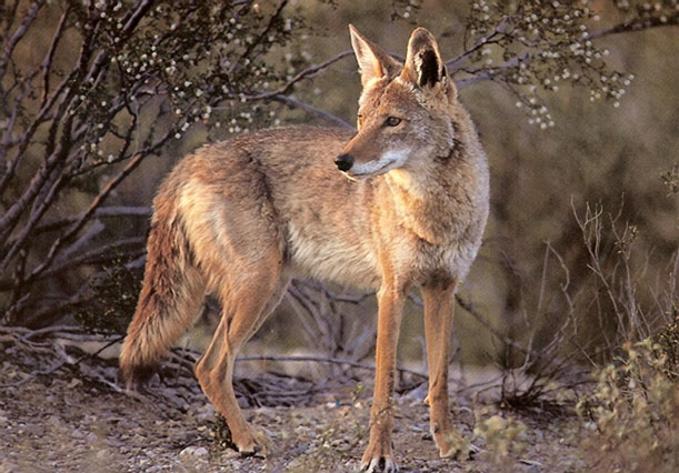 A coyote, Canis latrans.