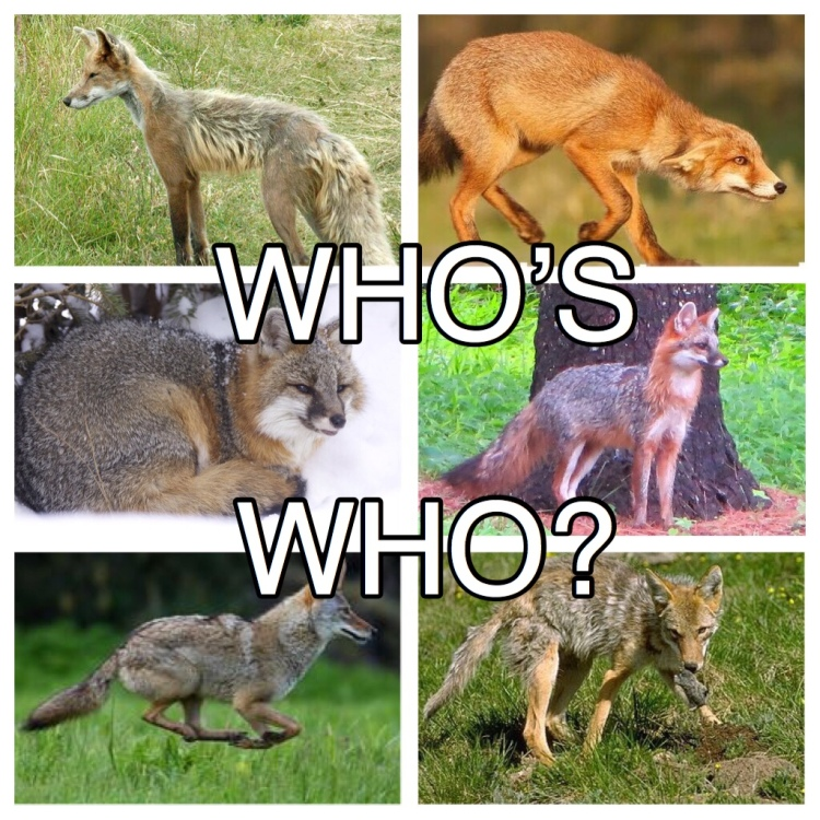 How to tell the difference between red foxes, grey foxes, and coyotes.