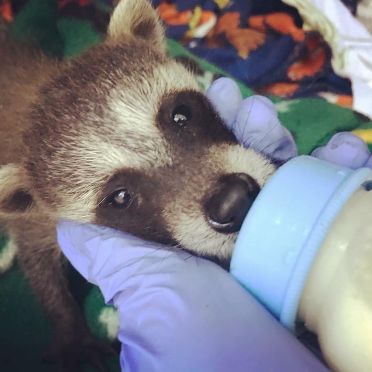 A raccoon kit.