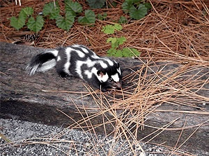 An eastern spotted skunk.