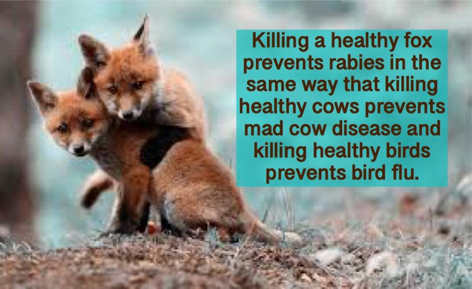 Should We Kill Foxes to Prevent Rabies? – For Fox Sake