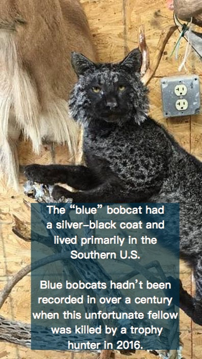 The blue or Maltese bobcat had beautiful silver and black fur.