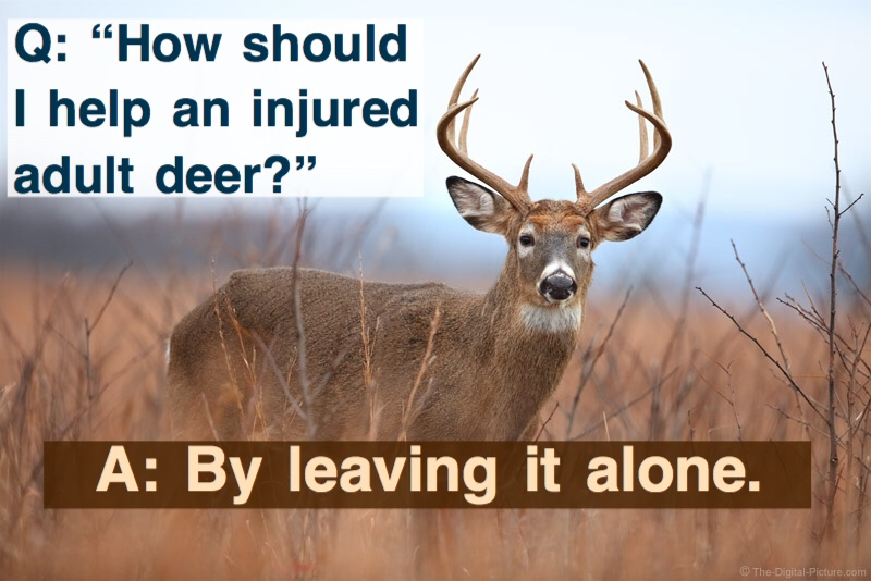 How should I help an injured adult deer? By leaving it alone!