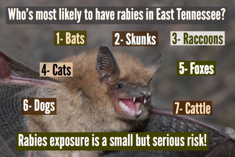 Bats, skunks, raccoons, cats, foxes, dogs, and cattle are the most likely animals to have rabies in East Tennessee.